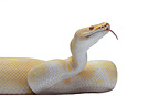 Royal Python 'Albino' on white background