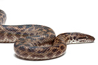 Spotted Python on white background�