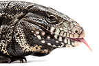 Portrait of Argentine Tegu on white background
