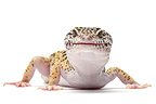 Leopard Gecko on white background�