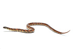 Florida king snake 'High Red Mosaic' on white background