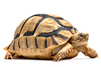 Egyptian Tortoise on white background (Egyptian Tortoise)