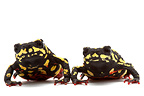 Redbelly Toads on white background (Redbelly Toad)