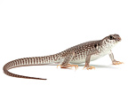 Desert Iguana on white background