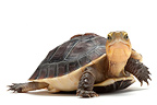 Yellow-margined Box Turtle on white background (Yellow-margined Box Turtle)