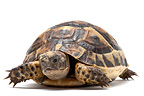 Asia Minor spur-thighed tortoise on white background (Turkish Spur-thighed Tortoise)