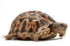 Serrated Tortoise on white background (Serrated Tortoise)