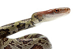 Portrait of Red-headed Rat Snake on white background