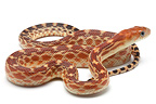 Young Cape Gopher Snake on white background