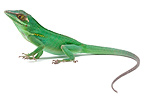 Baracoa Anole on white background