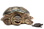 Snapping turtle and young on a white background (Common Snapping Turtle)
