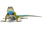 Green Spiny Lizard male on a white background