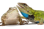 Green Spiny Lizard couple on a white background