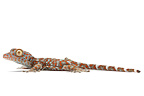 Tockay Gecko on a white background