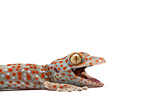 Portrait of Tockay Gecko on a white background