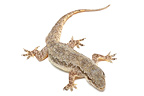 Common House Gecko on a white background