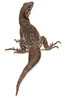 Oaxacan Spinytail Iguana on a white background