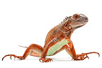 Green Iguana 'Red' on a white background