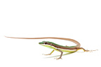 Green Grass Lizard on a white background