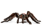 Antilles pinktoe tarantula on a white background (Spider)
