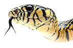 Portrait of Tiger Ratsnake on a white background