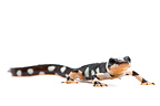 Luristan Newt on a white background