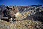 Reintroduced  Eurasian GriffonVulture, Baronnies, France