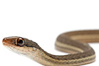 Peninsula Ribbon Snake on a white background