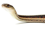 Red-sided Garter Snake on a white background