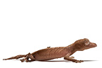 Satanic leaf-tailed Gecko on white background