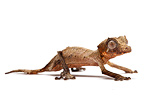 Satanic leaf-tailed Gecko on white background�