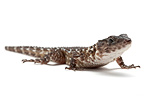 Van Dam's girdled lizard on white background