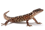 Warren's Spinytail Lizard on white background