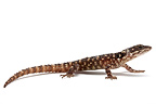 Warren's Spinytail Lizard on white background�