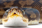 Portrait of Timor Python on white background�