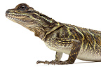 Philippine Sailfin Lizard on white background� (Sailfin Water Lizard)