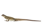 Philippine Sailfin Lizard on white background  (Sailfin Water Lizard)