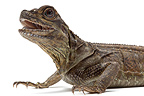 Portrait of Philippine Sailfin Lizard on white background  (Sailfin Water Lizard)
