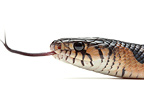 Central American Indigo Snake on white background