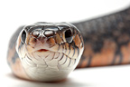 Central American Indigo Snake on white background�