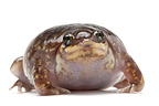 Marbled Shovelnose Frog on white background  (Marbled Snout-burrower )
