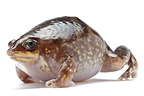 Marbled Shovelnose Frog on white background� (Marbled Snout-burrower )