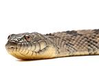 Portrait of Brown Water Snake on white background