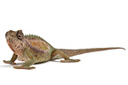 Transvaal Dwarf Chameleon on white background