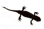 Oriental Fire-bellied Newt on a white background