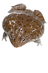 African Bullfrog on a white background