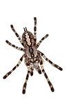Regal Parachute Spider on white background (Spider)