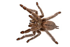 SunTiger Tarantula on white background (Spider)