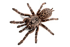 Straight Horned Baboon Spider on white background (Spider)
