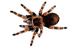 Mexican redknee tarantula on white background (Spider)